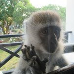 Monkey at our balcony