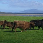 Our highland cows, New Orleans Cottage, Mull of Kintyre
