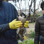 A rescued falcon (had been found injured by a bullet) being released back into wild after recove
