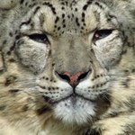 Snow Leopard posing for the camera!