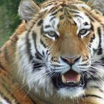 Bengal Tiger, one of my favourite animals.