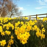 Beautiful daffodils by the pond in spring
