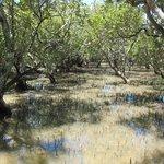 La mangrove à marée montante