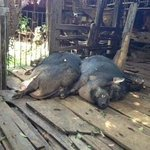 Boars at farmer's house on Mae Ping cruise