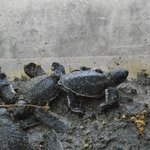 Baby turtles hatched from protected nest area