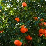 Apelsin träd på Mallorca