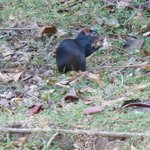 Agouti spotting - just as good as birding to our minds.