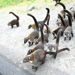 Coati's from van