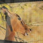 Springbok photo from Crocodile Bridge
