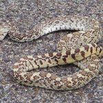 Rattlesnake on the road!