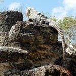 Sunning Iguana