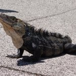 Iguana at Pool
