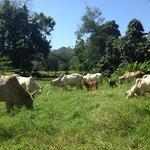 The cows that live next door