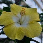 One of many hibiscus to cheer your day