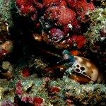 shy Mantis Shrimp at Jepun