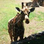 жираф проявил интерес