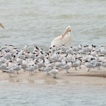 White Pelicans and Royal Terns - Photo by Steve Rothenberg