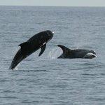 Rissos dolphins in Cardigan bay off the Llyn Coastal Path in North Wales.