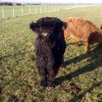 Highland Moo cow
