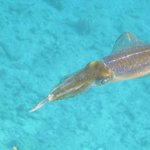 Snorkeling near the rocks - Squid