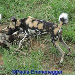 A few of the wild dogs