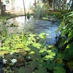 Koi Pond--beautiful flowers