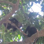 Monkey's in trees outside our villa