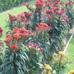 Cockscomb grows lush and beautiful in the palace gardens