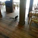 Wily monkeys try to steal food from the buffet. Staff goes wild.