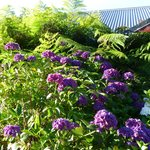 Stunning hydrangeas in top garden