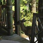 Key Deer peeking in toward our table