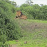 Chobe game drive-Lion