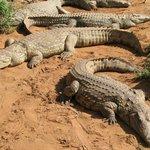 крокодилы греются
