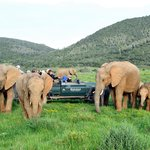 Kariega elephant sightings are spectacular