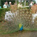 A peacock...lovely