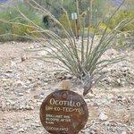 Ocotillo tree