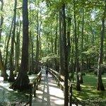 Bridge in Cypress swamp