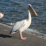 Pelicans of pelican bay