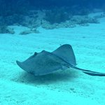 A small ray skimming the sand looking for a tiny snack