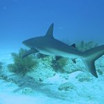 The small reef & black tip sharks are a treat to see and never bother our divers or snorkelers