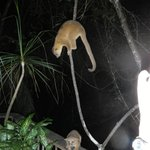 Kinkajous visit at night