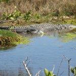 Alligator working on his tan !