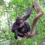 chimp trek at Kibale