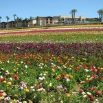 This is what we missed..the flower fields in full bloom :-(