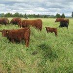 Red Devon Cattle