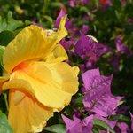 Hibiscus & Bouganvillea