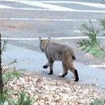 Bobcat (Lynx rufus) near our room