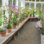 Orchids in the green house