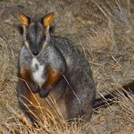 Brush tailed Wallaby
