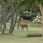A random Impala in the hotel grounds